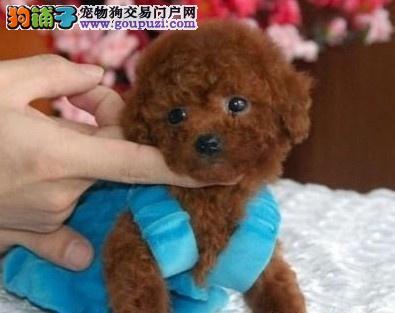 中山哪里有卖小狗玩具贵宾犬,康达犬舍信誉好