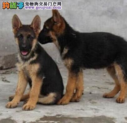 云南大理狗场在哪里哪里在卖德牧德牧和昆明犬是警犬吗