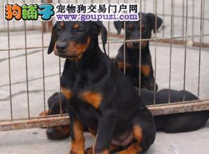 云南昆明哪家狗场有杜宾犬卖哪家狗场在卖杜宾犬