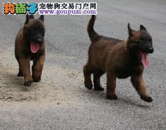 云南曲靖马犬出售狗场马犬常年出售马犬聪明好训练