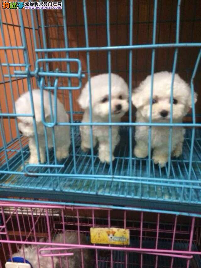 闵行区专业繁殖比熊犬两三个月的小狗 常年