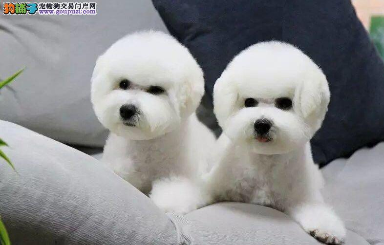 卷毛比熊犬,纯种可爱,