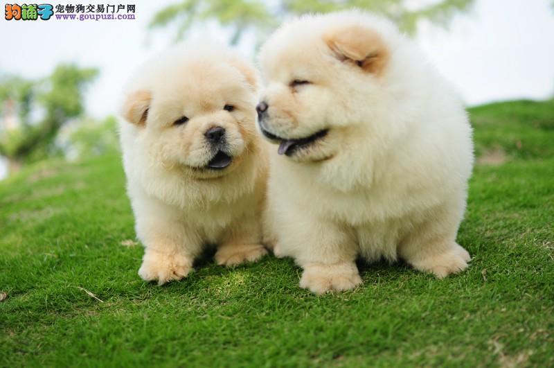 广州哪里有卖松狮犬 松狮犬一只多少钱 包健康纯种