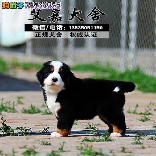 艾嘉养殖场 伯恩山幼犬 品质优良 血统纯正 健康保障