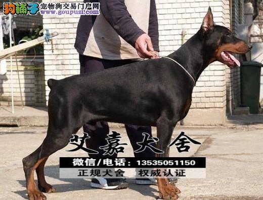高品质德系杜宾幼犬 保纯种健康包养活 优宠名犬养殖场