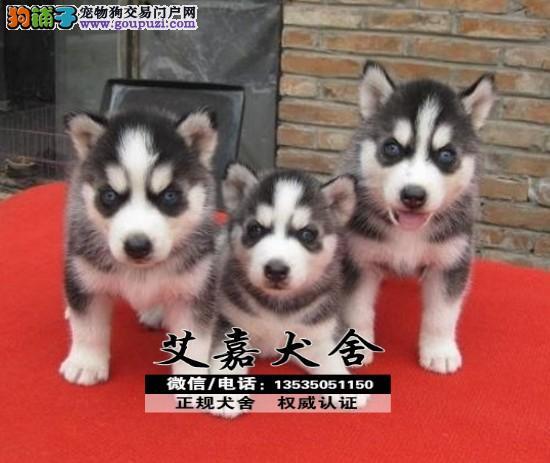 经典三把火双蓝眼哈士奇 堪称最帅名犬 赠狗狗户口