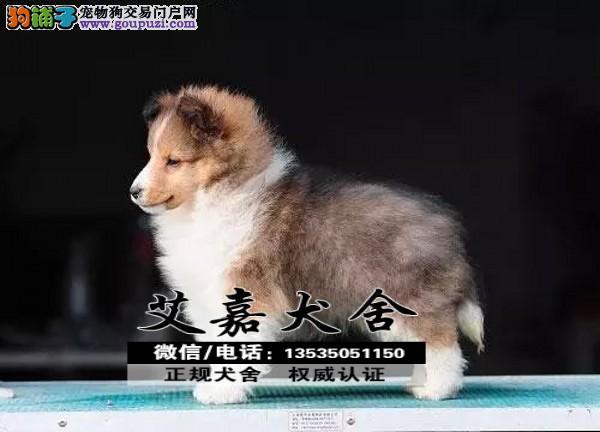 正规犬舍繁殖可爱的苏牧宝宝 CKU认证绝对信誉