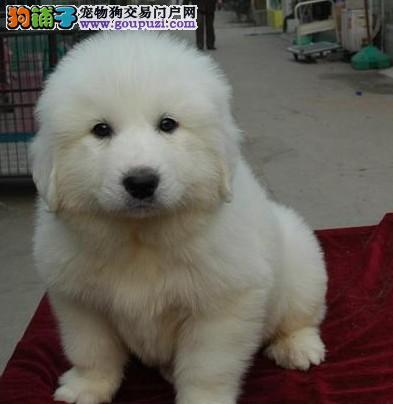 温顺大白熊实拍 保纯 包犬瘟细小、品相极佳