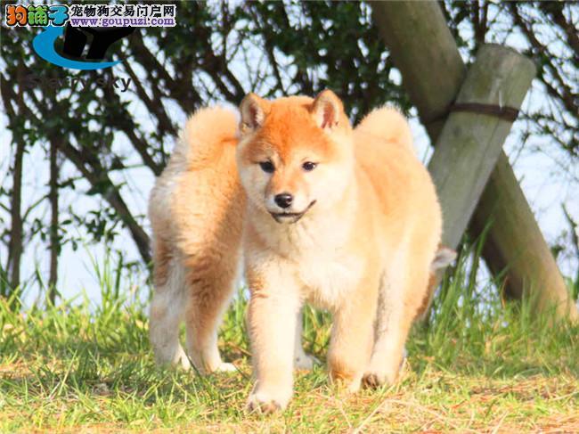 正宗日系柴犬出售,多只