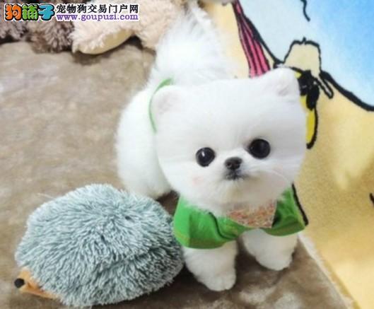 广州纯种俊介犬出售 广州俊介犬价格 保证健康签协议