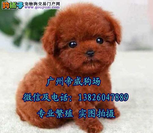 中山什么地方有卖纯种玩具贵宾犬 中山哪里买狗最好