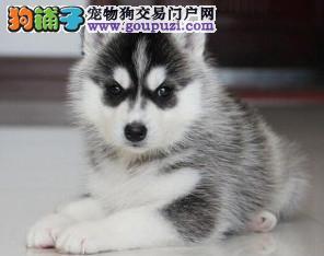 四川哈士奇价格 三把火双蓝眼哈士奇幼犬多少钱一只