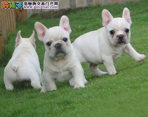 法国斗牛犬,纯种斗牛犬,养殖犬舍