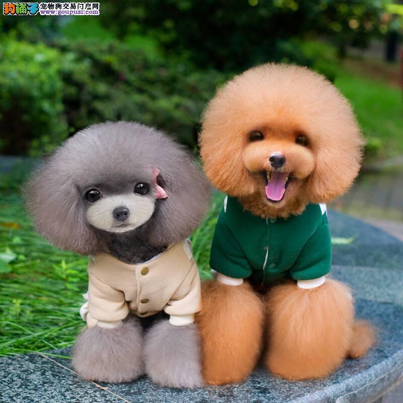 萌萌哒泰迪熊犬品相好有多只
