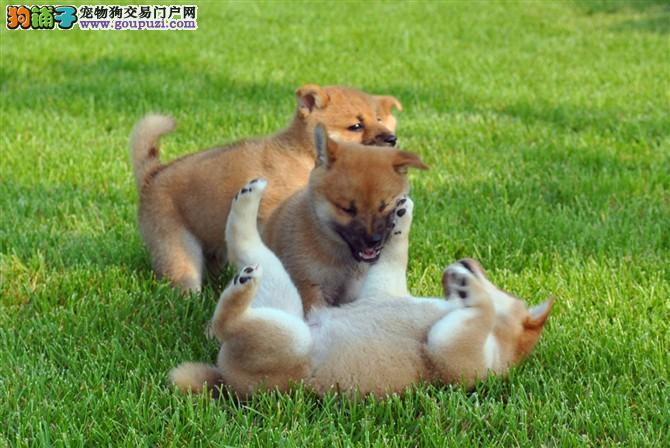 日系纯种小柴犬,双血统赛级品质