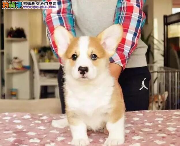 血统柯基幼犬出售◕健康包养活◕死亡包退换