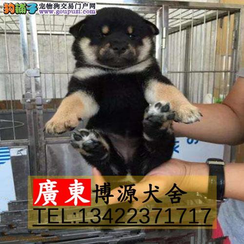 广州哪有出售纯种柴犬 广州纯种柴犬价格是多少 可送货