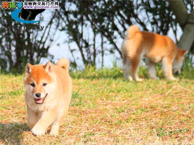 忠诚可靠的漂亮柴犬 身体强健的幼柴犬