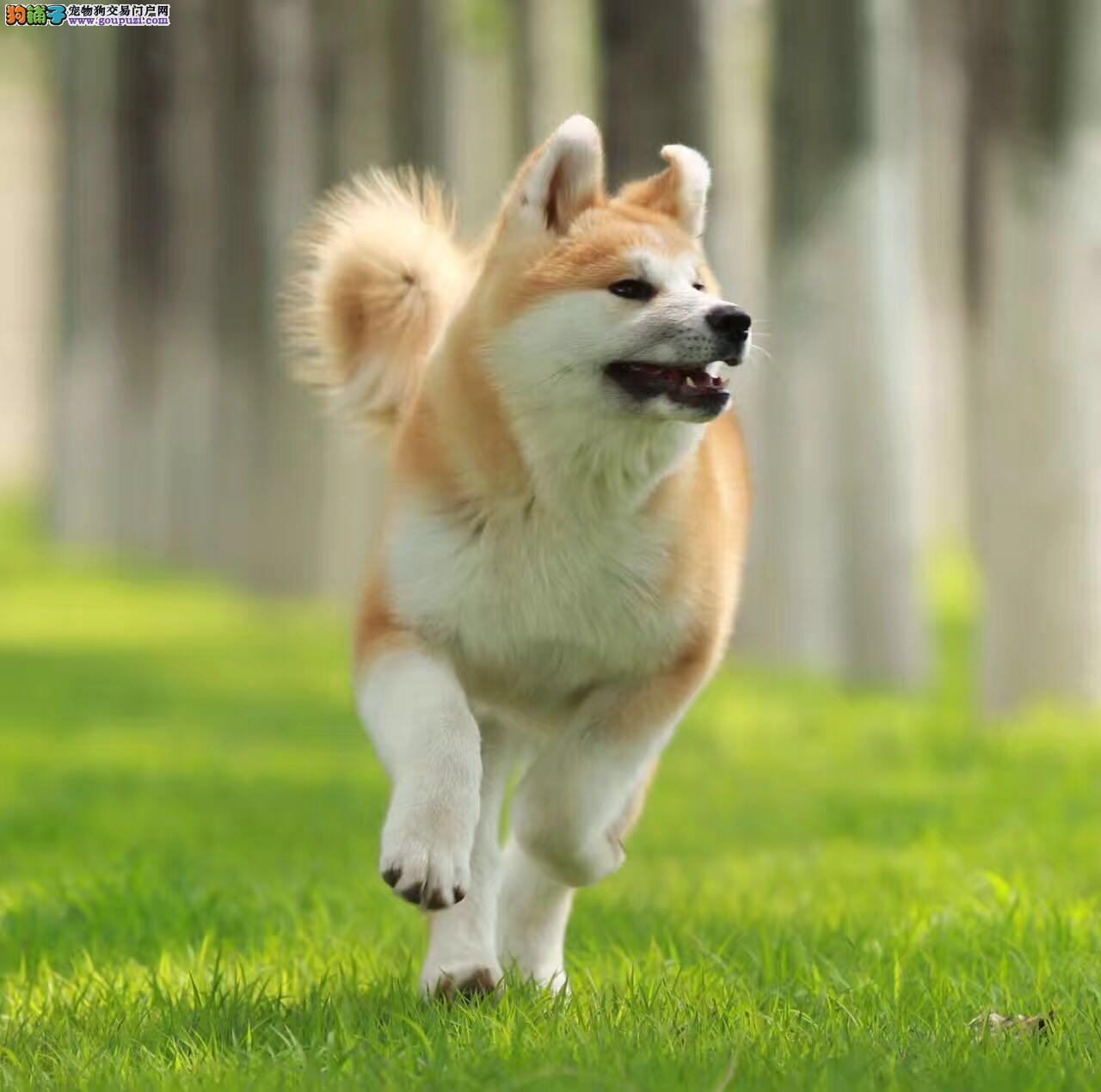 冠军血统,纯种秋田犬,温顺聪明,有保障