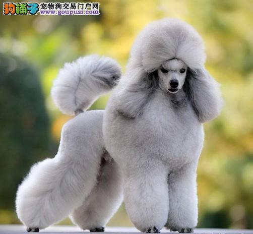 贵宾泰迪熊,超爆毛量,颜色全