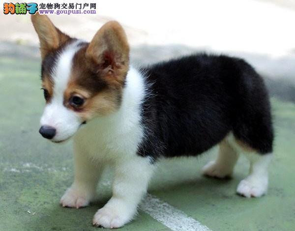 柯基幼犬、可送货上门、签协议保健 赛系柯基
