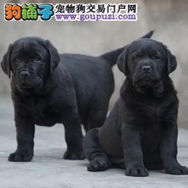 拉布拉多 赛级拉布拉多犬 短毛犬拉布拉多