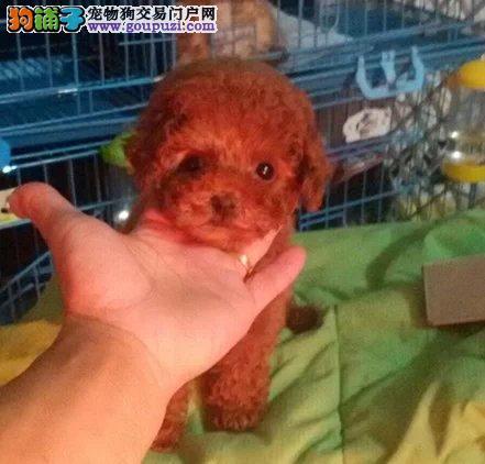 泰迪幼犬保证纯种健康可上门可发货购买签活体协议