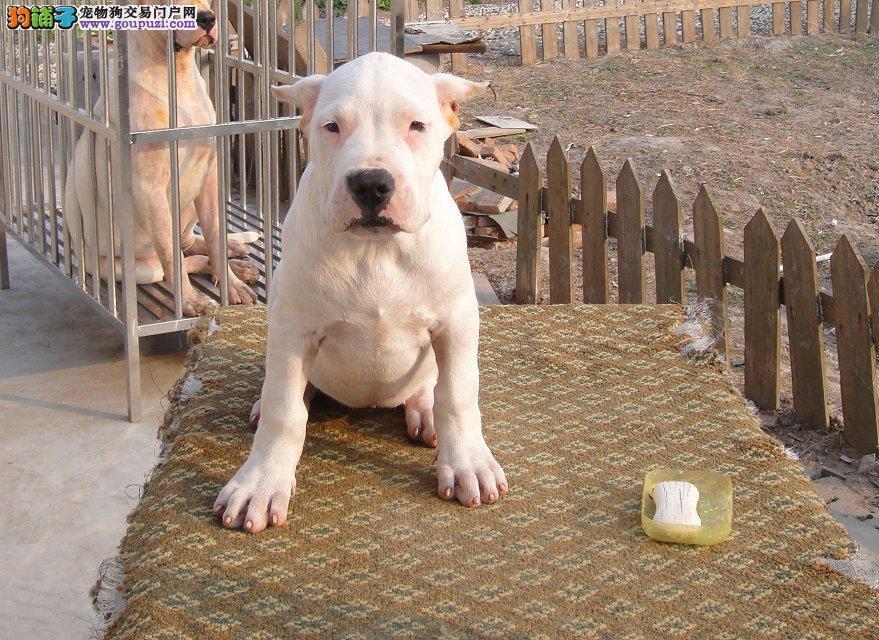 出售精品杜高犬狗舍/金山区杜高犬出售价格