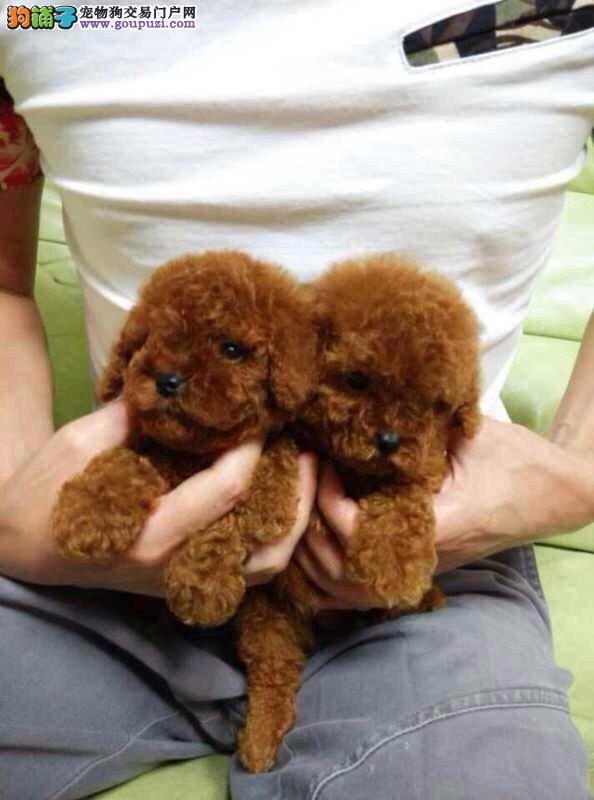 纯种健康出售贵宾犬幼犬*嘉定区贵宾犬幼犬