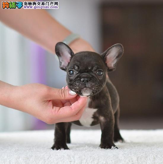 纯种法国斗牛犬,方体自然尾,多色可挑选,健康质保
