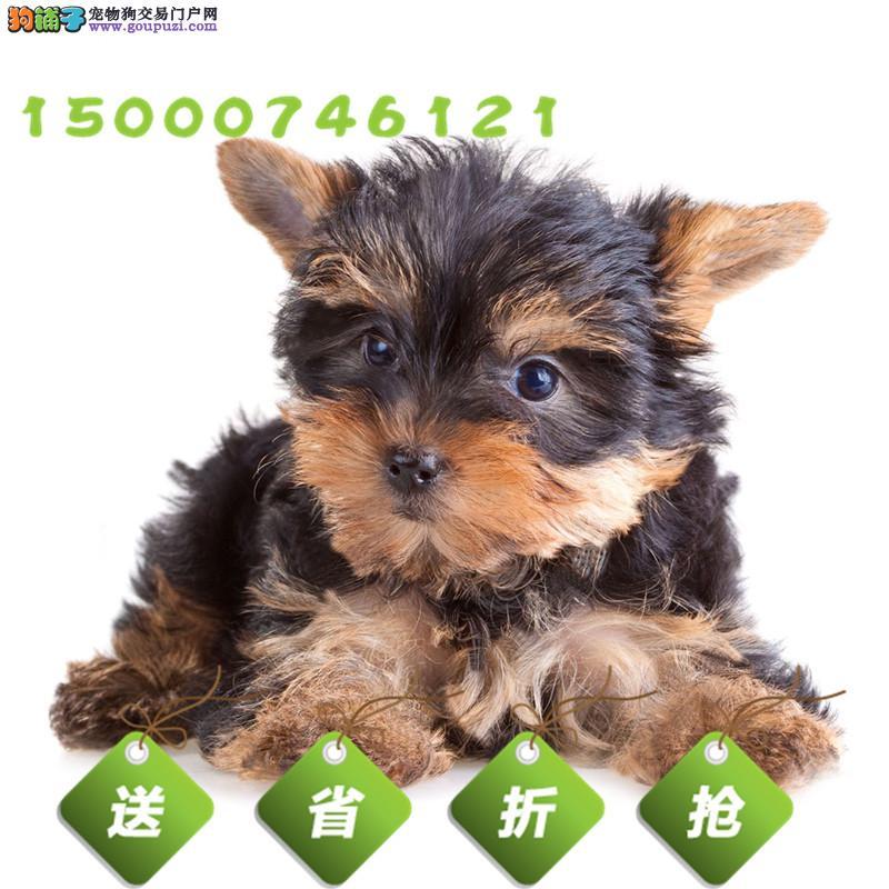 精品约克夏幼犬出售、健康质保、疫苗齐全、公母可选