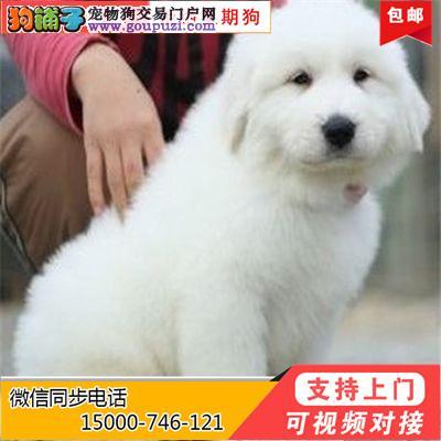 正规犬舍一繁殖各类名犬一大白熊 一养活一买狗送用品