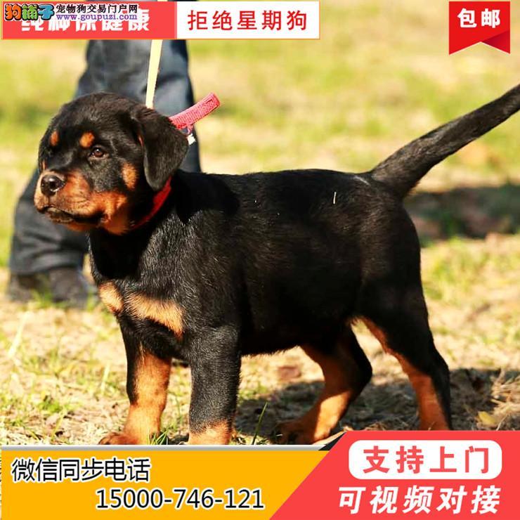 上海基地出售德系罗威纳幼犬防暴犬可上门挑选