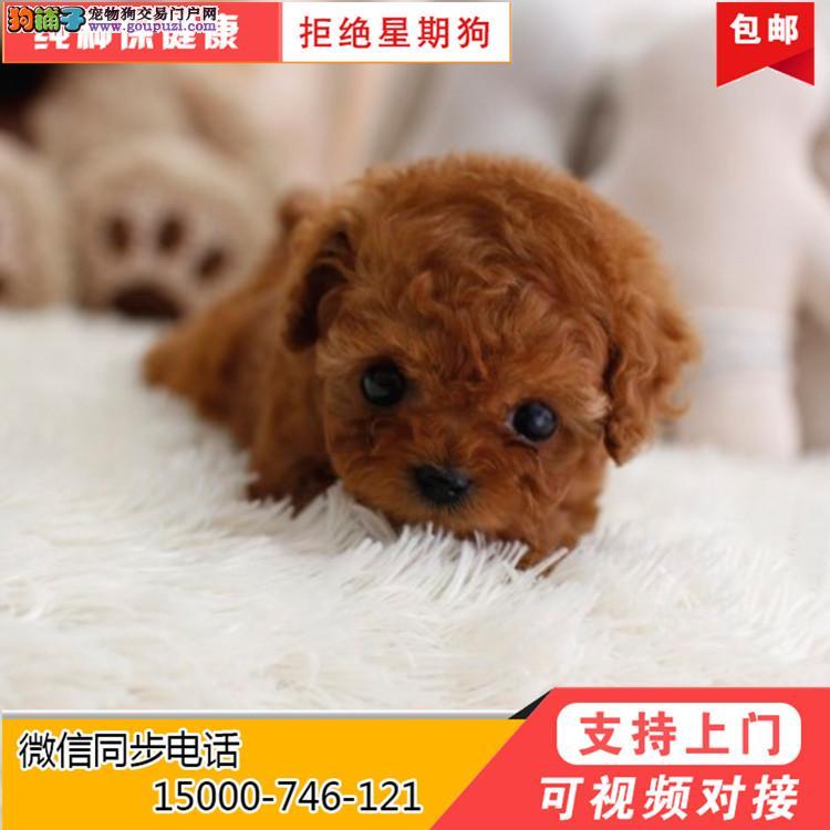 上海宠物基地出售各类泰迪幼犬均可上门挑选