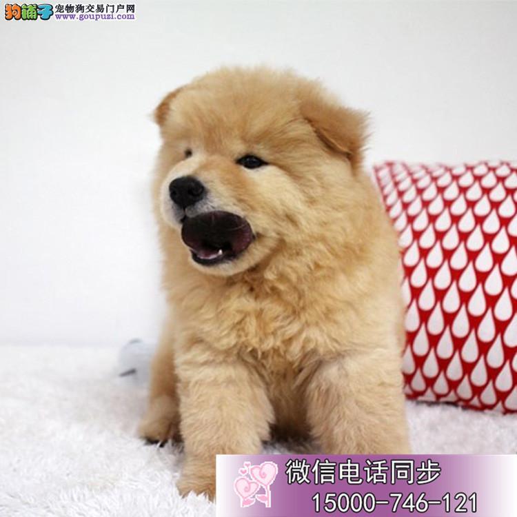 上海松狮幼犬品质高血统好 打完疫苗证书齐全