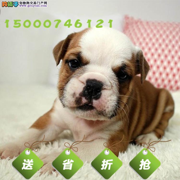 上海大鼻筋螺旋尾 英牛宝宝出售公母都有