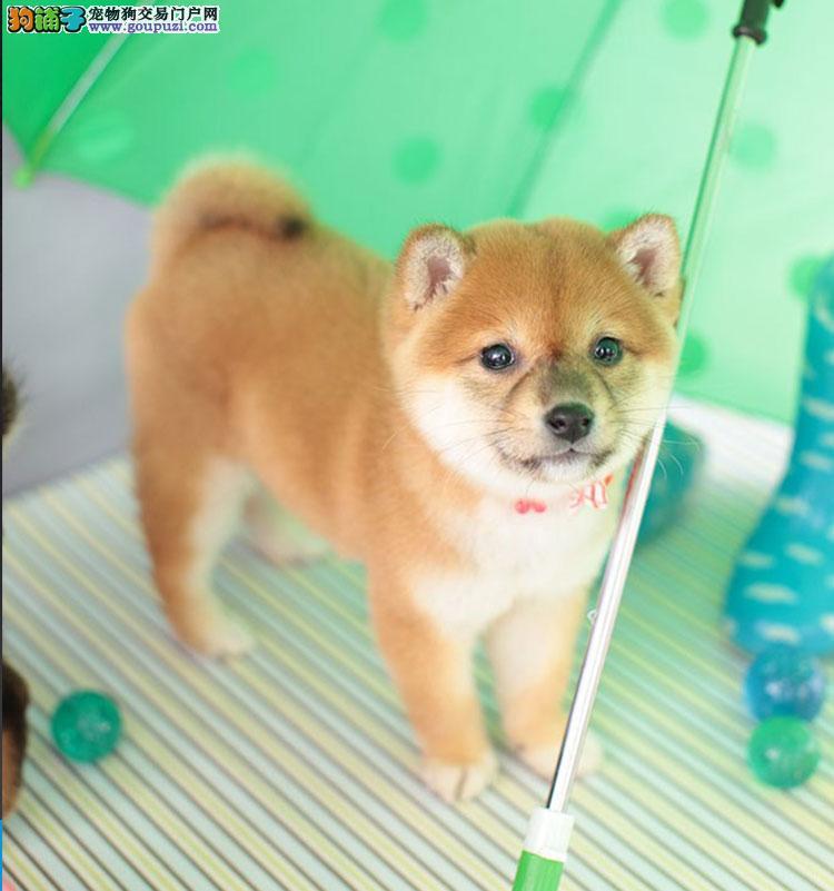 犬舍出售日系纯种柴犬幼犬微笑小柴保证纯种健康