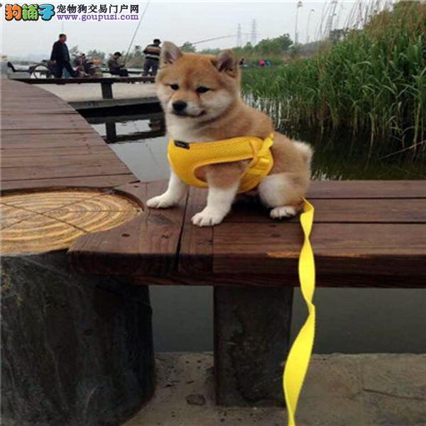 CKU认证犬舍 诚信经营 赛级品质柴犬幼犬 可上门挑选