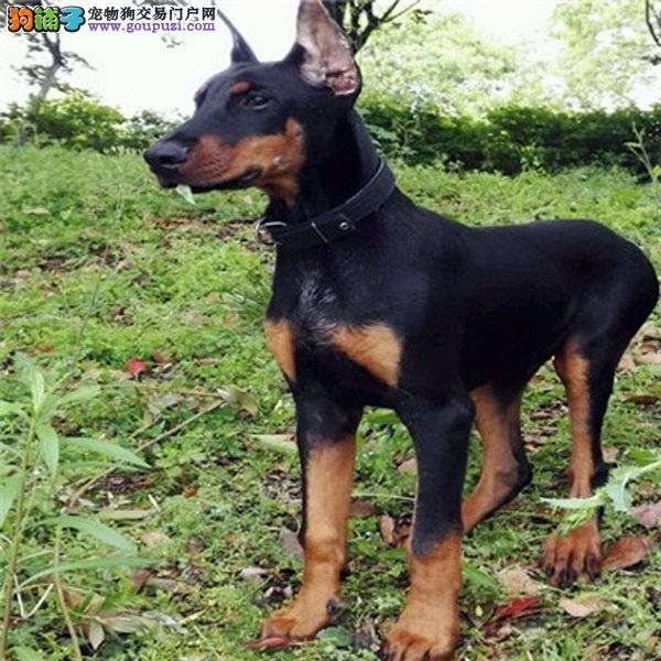 优良品质 自家犬场繁殖杜宾幼犬包纯健康欢迎上门挑选