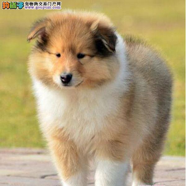 上海苏格兰牧羊犬犬舍专业繁殖纯种健康苏牧幼犬