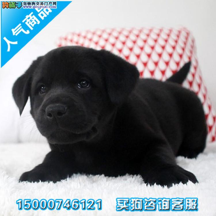 犬舍直销拉布拉多宝宝 哪里卖拉布拉多少钱一只