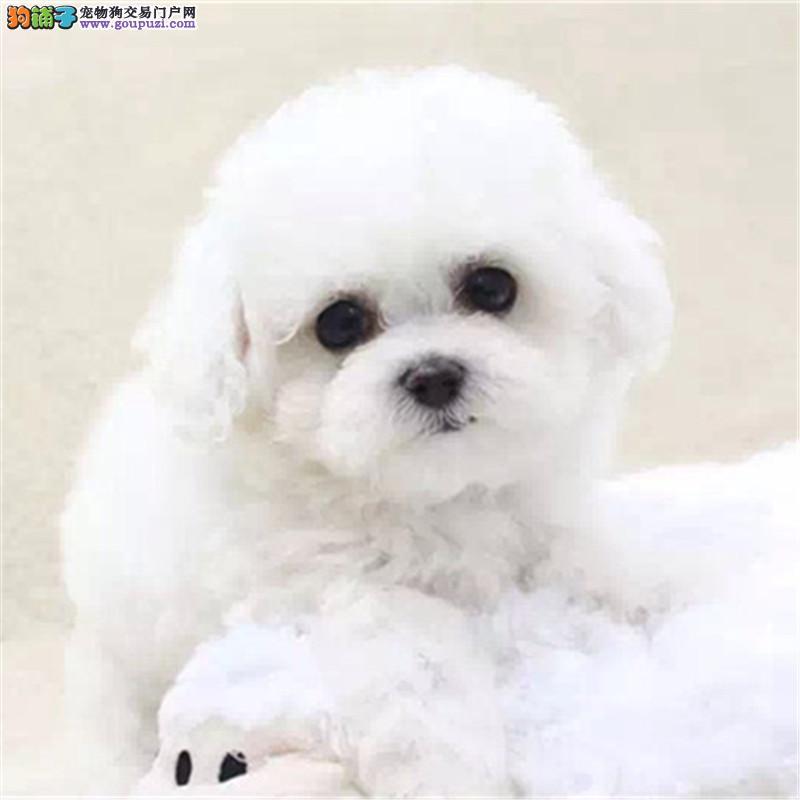 韩国引进大眼睛甜美脸型法系小体大毛量纽扣眼比熊幼犬