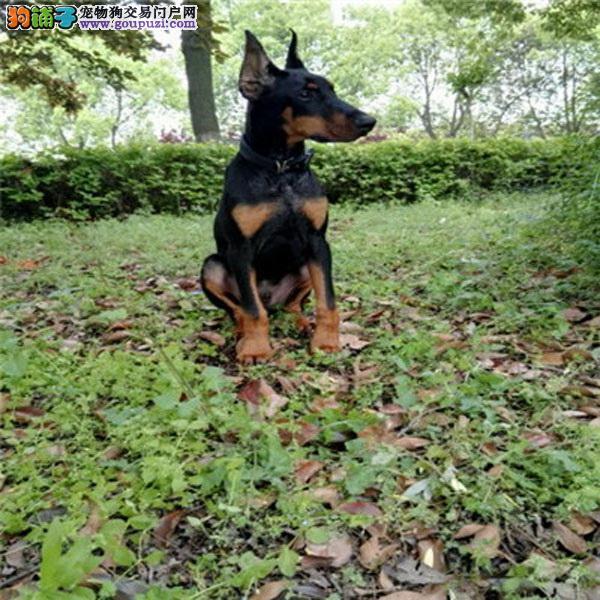 上海杜宾犬舍出售纯种杜宾幼犬 保证纯种健康