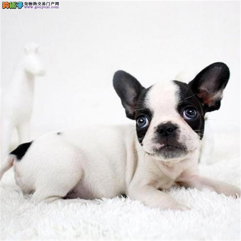 上海出售纯种法斗幼犬法国斗牛犬包健康纯种可上门