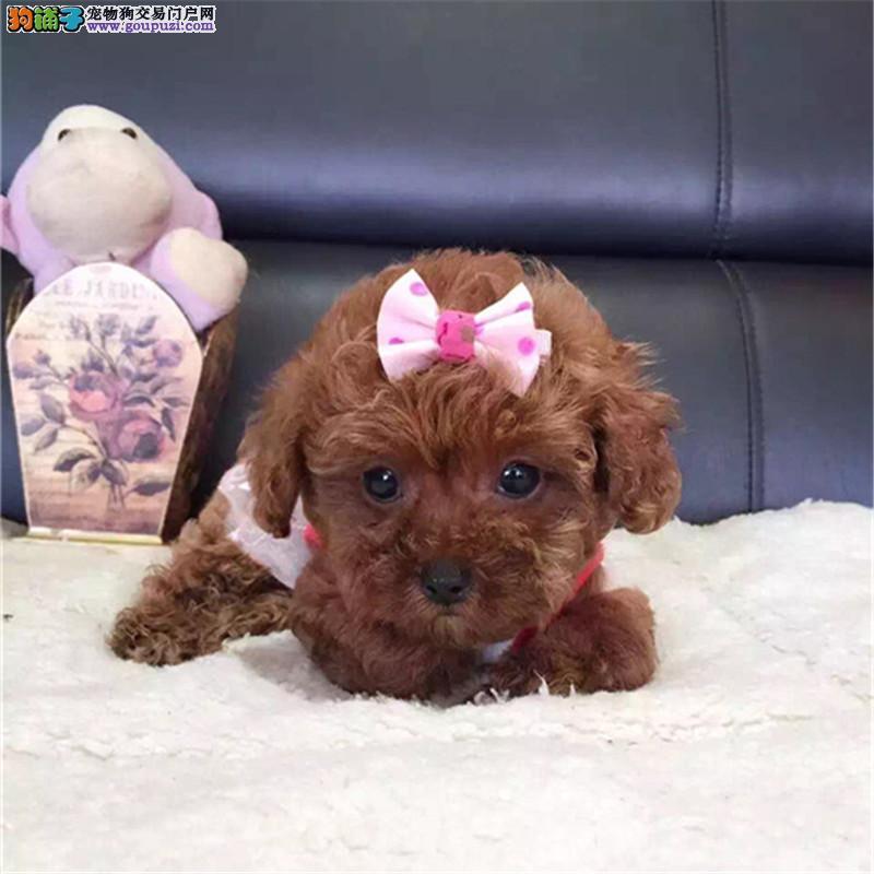 犬舍直销泰迪 贵宾幼犬 健康保障可上门