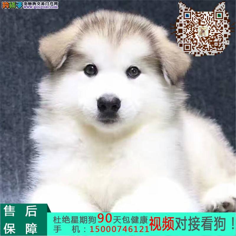 强力推荐纯种阿拉斯加幼犬/超帅气/超大形体/纯种