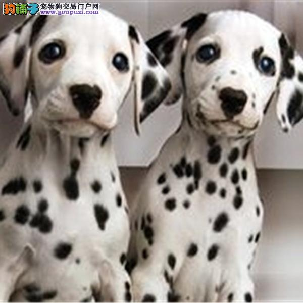 基地斑点狗犬舍出售高端斑点狗幼犬 保证纯种健康