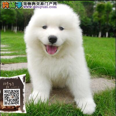 纯种大骨量萨摩耶幼犬 王者风范 品相纯正保证健康品质