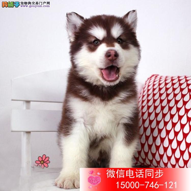 精品阿拉斯加犬赛级犬证书芯片齐全可以签订协议