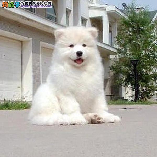上海萨摩耶犬舍出售顶级微笑天使澳版大毛量萨摩耶幼犬
